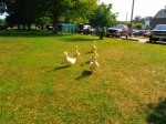 When we arrived to set up in the morning, these ducks showed up to give their